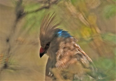 blue-naped-mousebird1