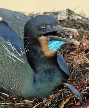 brandts-cormorant-head2