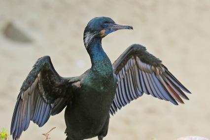 brandts-cormorant-wings