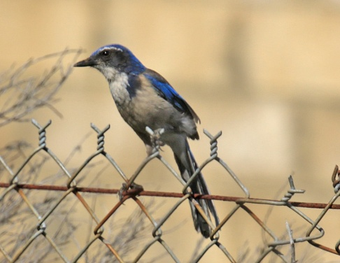 california-scrubjay