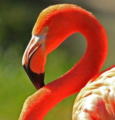 caribbean-flamingo-head