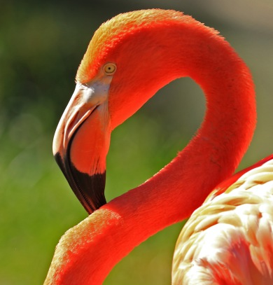 caribbean-flamingo-head