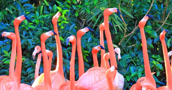 caribbean-flamingoes