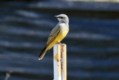 cassins-kingbird1