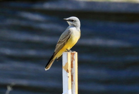 cassins-kingbird1