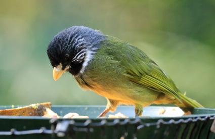 collared-finchbill