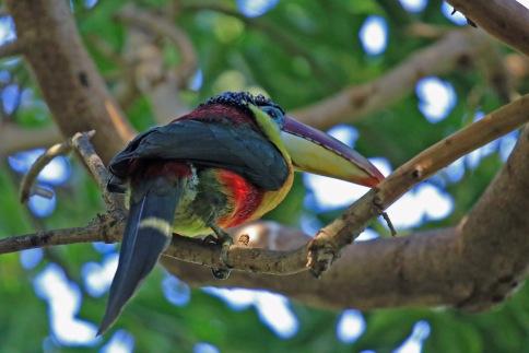 curl-crested-aracari