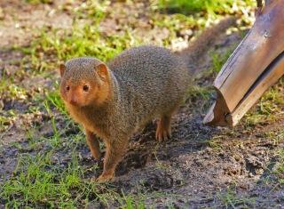 dwarf-mongoose1