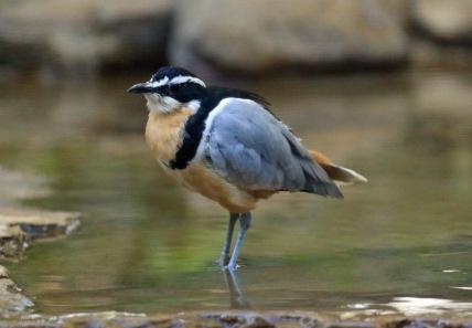 egyptian-plover
