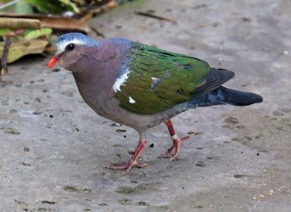 emerald-dove1