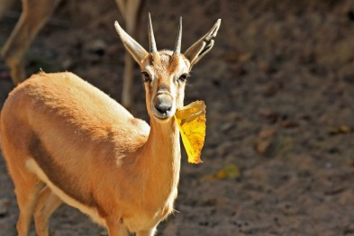 gazelle-with-leaf