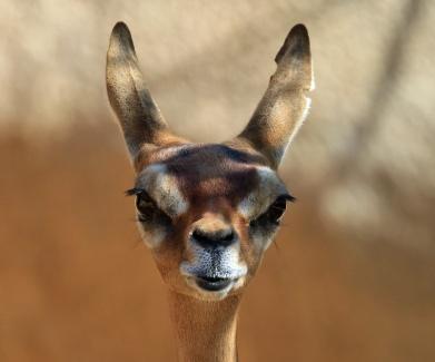 gerenuk-head