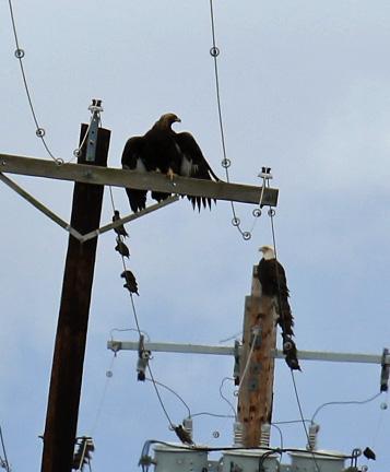 golden-and-bald-eagles