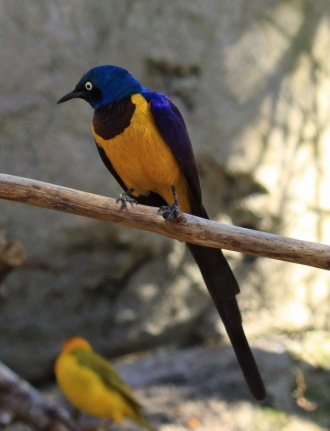 golden-breasted-starling