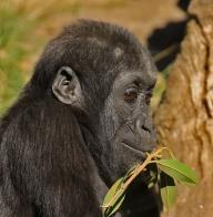 gorilla-baby2