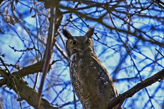 great-horned-owl1