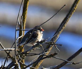 harriss-sparrow3