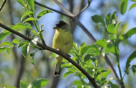 lessser-goldfinch