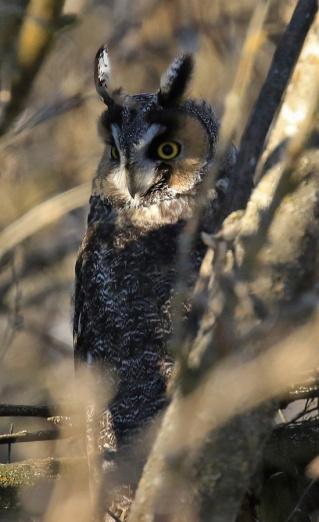 long-eared-owl2