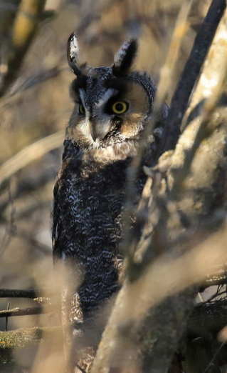 long-eared-owl2