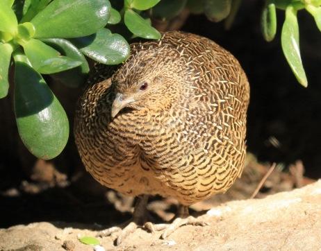 madagascar-partridge