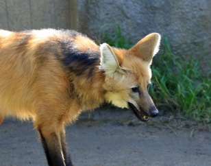 maned-wolf1