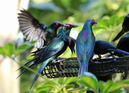 metallic-starlings