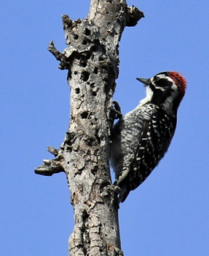 nuttalls-woodpecker4