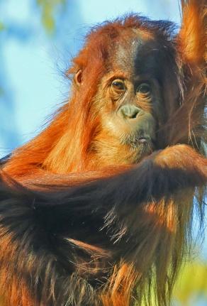 orangutan-baby1
