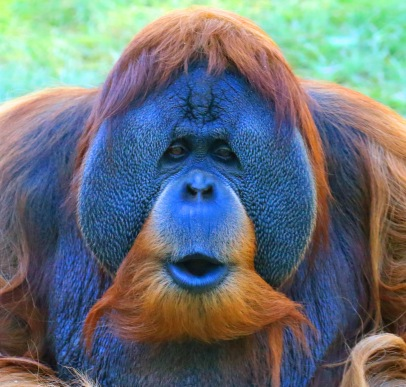 orangutan1