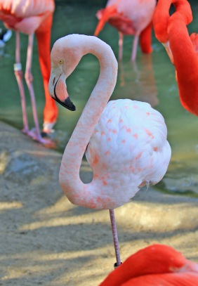 pale-caribbean-flamingo