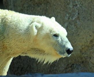 polar-bear1
