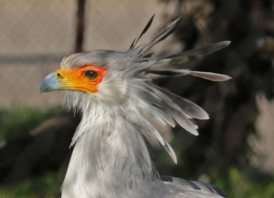 secretarybird-head