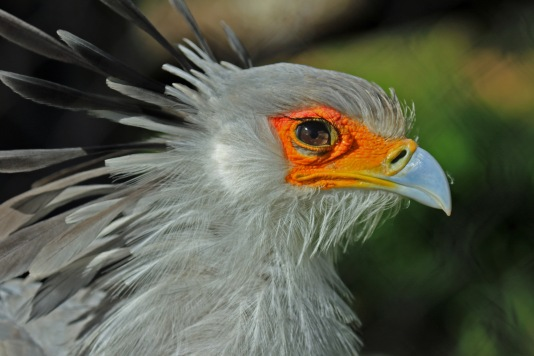 secretarybird-head1