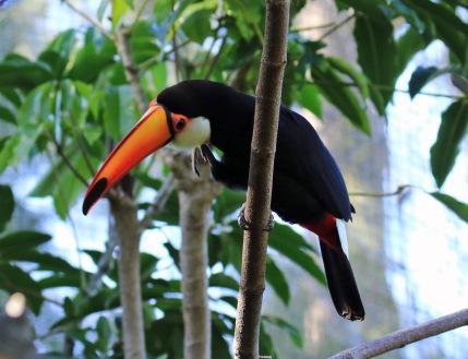 toco-toucan