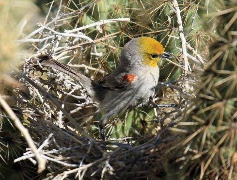 verdin-in-nest1