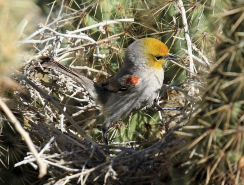 verdin-in-nest1