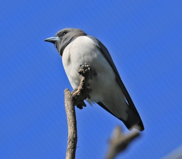 white-breasted-wood-swallow