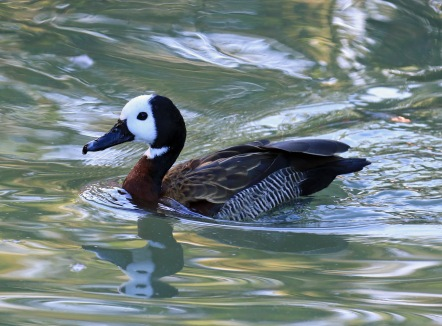 white-faced-whistling-duck2