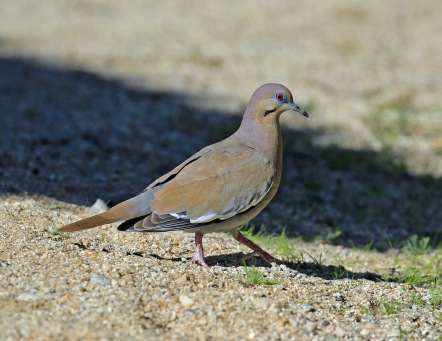 white-winged-dove