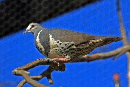 wonga-pigeon