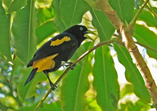 yellow-rumped-cacique