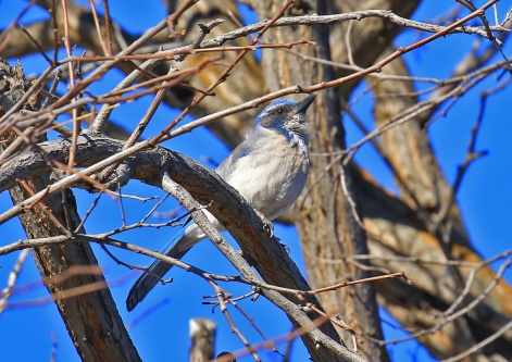 California Scrubjay