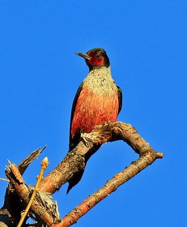 Lewis's Woodpecker1