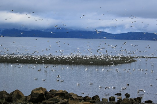 Mass of Gulls