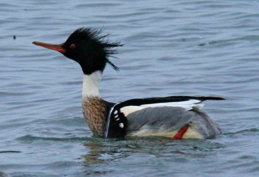 Red Breasted Merganser (2)