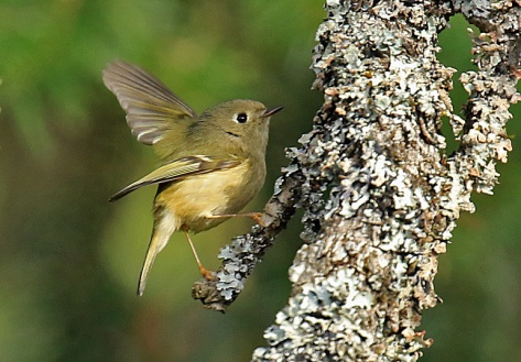 Ruby Crowned Kinglet (2)