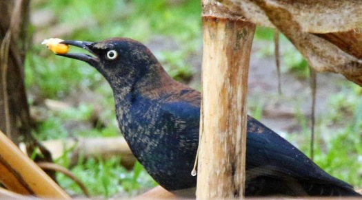 Rusty Blackbird2