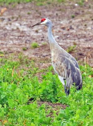 SAndhill Crane2
