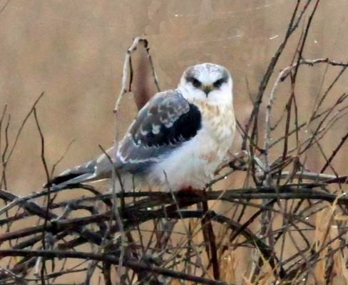 White Tailed Kite2